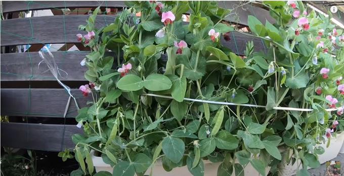 Quỳnh Trần trồng nhiều đậu Hà Lan trong chậu nhựa. Cô rất thích thu hoạch đậu về làm món đậu xào thịt bò.