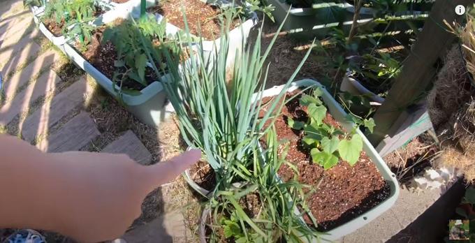 Cô trồng cả hành, hẹ, susu để chế biến bữa ăn sạch cho gia đình.