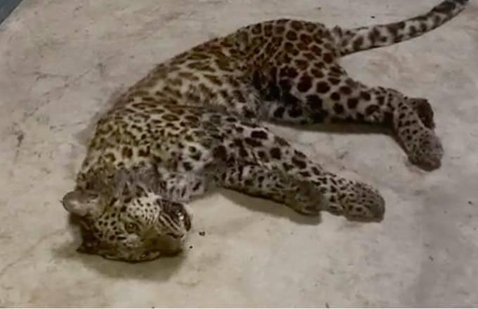 Một trong số hai con báo bị tiêm thuốc an thần sau khi được tìm thấy. Ảnh: CNN.