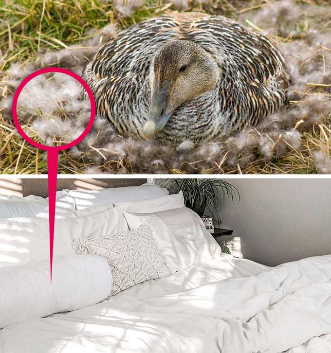 11.Ga giường được làm bằng những vật liệu tốt nhất và hiếm nhấtĐể đảm bảo một đêm ngon giấc cho khách, bộ khăn trải giường trong mỗi phòng được làm bằng chăn lông vũ hiếm nhất trên thế giới. Những chiếc lông được nhặt bằng tay từ những tổ vịt eider bị bỏ hoang ở Iceland. Vịt mẹ nhổ những chiếc lông mềm nhất trên ngực để lót ổ và giữ ấm cho trứng. Chỉ có 2.000 kg lông loại này được phép thu hoạch mỗi năm. Và nếu bạn có sở thích cầu kỳ hơn, khách sạn cung cấp 17 loại gối thiết kế riêng để bạn lựa chọn.