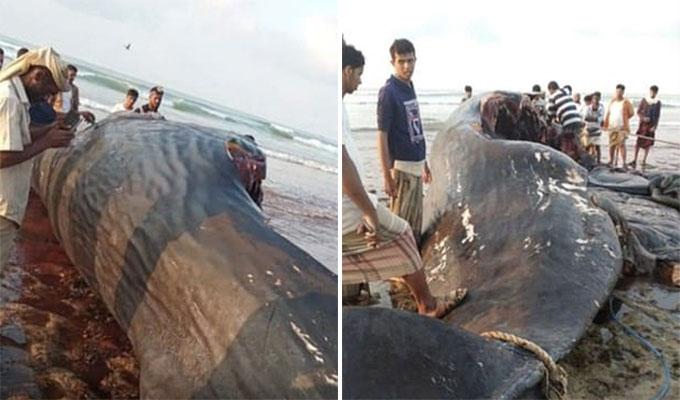 Con cá voi trôi dạt ngoài Vịnh Aden được nhóm ngư dân kéo vào bờ và mổ bụng để tìm chất long diên hồi tháng 2. Ảnh: BBC News.