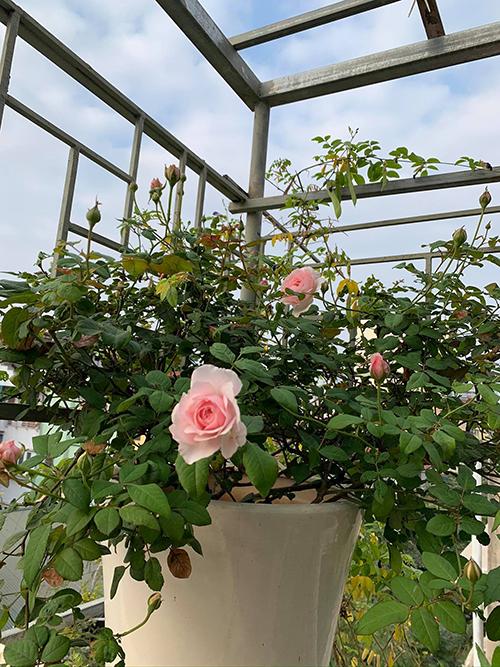 Sân thượng có đủ nắng, gió, tạo điều kiện thuận lợi cho trồng hoa hồng nên chị trồng khoảng 20 gốc hồng như vân khôi, quế, hồng nhập ngoại Misaki...