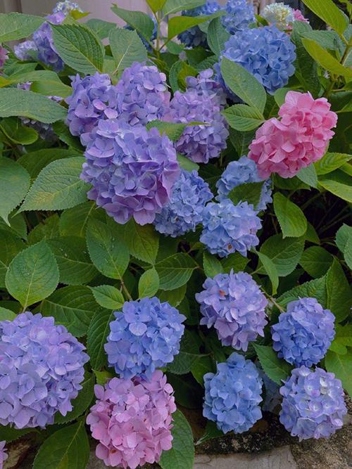 Những tấm hình hoa cẩm tú cầu được Hinh Dư chia sẻ vào đầu tháng 6. Cô bộc bạch việc được đóng các bộ phim yêu thích, tự chăm sóc vườn tược là cuộc sống mà cô hằng mong ước.