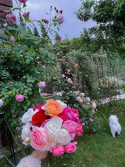 Nhân dịp Ngày của mẹ vừa qua, Hinh Dư cũng tự tay lựa chọn những đóa hoa hồng to đẹp cô trồng để dành tặng mẹ. Lý do cô trồng hồng cũng chính bởi mẹ cô yêu loài hoa này nhất.