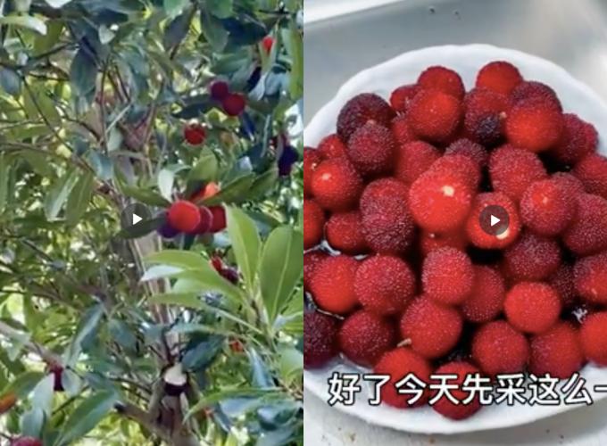 Vườn nhà Hinh Dư chi chít trái thanh mai. Cô còn chú thích những quả thanh mai (hay còn gọi là dâu rừng) đỏ mọng giàu đường tự nhiên, dưỡng chất tốt cho sức khỏe.