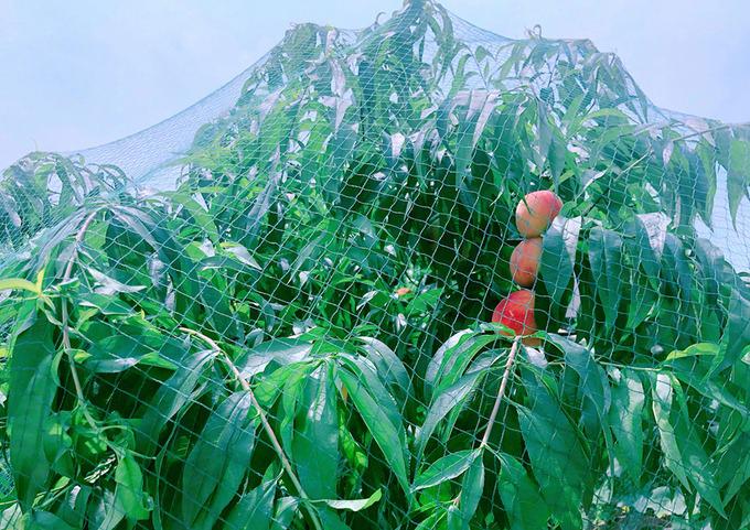 Để tránh chim ăn trái, Hinh Dư phủ lưới lên cây đào.