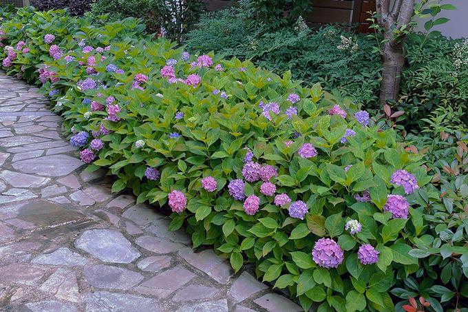Vườn cẩm tú cầu nở rộ khiến HInh Dư vui vẻ, chụp lại khoảnh khắc đẹp sau khi dày công chăm sóc.