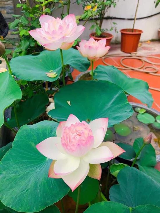 Chậu sen cạn khi mới về chỉ có một vài nụ nhỏ khiến Hồ Bích Trâm mãn nguyện khi cùng lúc bung nở nhiều bông hoa lớn.