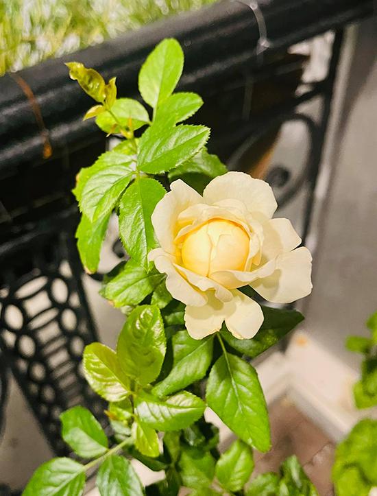 Được chăm sóc cẩn thận nên cây trong vườn nhà Hồ Bích Trâm phát triển rất tốt, liên tục ra hoa. Nữ diễn viên tậu tổng cộng sáu chậu hoa hồng các màu và giống khác nhau.