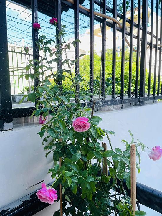 Hoa hồng leo ra cùng lúc gần chục bông hoa khiến góc nhỏ nhà Hồ Bích Trâm thêm rực rỡ. Nữ diễn viên cho biết, hoa trong vườn nhà cô chủ yếu là loại rẻ tiền nên tổng chi phí đầu tư phủ xanh căn nhà chỉ khoảng 10 triệu đồng.