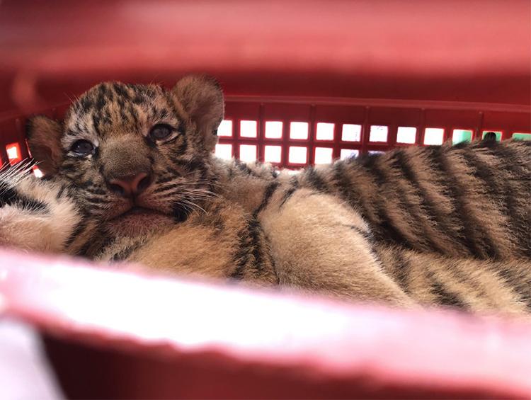 Một trong số các con hổ được giải cứu. Ảnh: Công an cung cấp