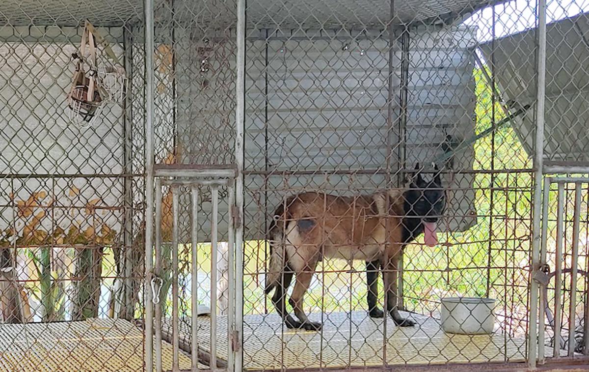 Chó dữ được Tùng nuôi tại trang trại. Ảnh: Hùng Lê