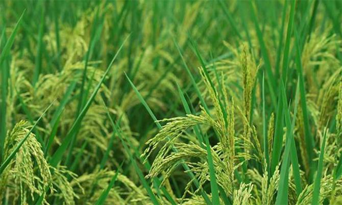 Lúa khổng lồ Trung Quốc dự kiến sẽ thu hoạch vào tháng 9 tới. Ảnh: Xinhua.