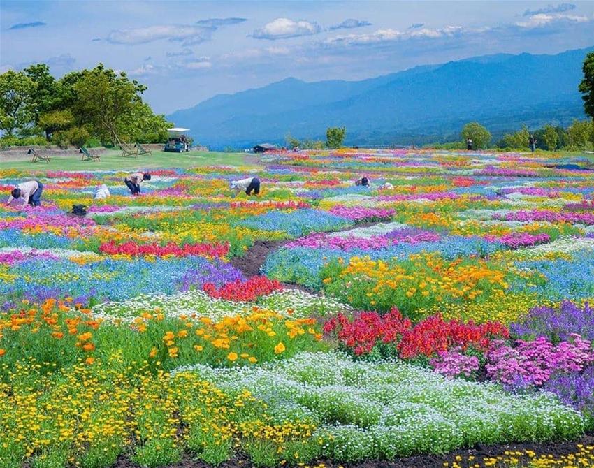 Khung cảnh thảm hoa bao gồm hoa shibazakura, nemophila, cosmos, oải hương... đủ sắc màu, bao phủ khắp núi đồi, phía ra là ngọn núi Kuju sừng sững, tạo nên khung cảnh đẹp như tranh. Ảnh: astrailor_jp