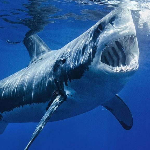 Carlos Gauna chụp hình một con cá mập trắng.