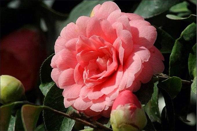 Middlemist s thuộc họ hoa trà và chỉ nở vào mùa đông - xuân. Ảnh: Chiswick House & Gardens