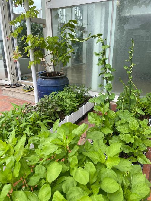 Vì vườn sân thượng nằm ở tầng 37 tòa chung cư mà Phương Mai đang sống nên nhiều nắng, gió, hiếm khi có sâu, côn trùng hoặc các bệnh thường gặp của cây.