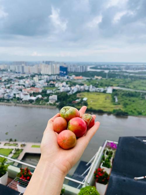 Khi ăn những trái cà chua chín đỏ do tự tay mình trồng, Phương Mai cảm thấy vị tươi ngon hơn đồ mua ở siêu thị và cảm nhận niềm hạnh phúc khi tận hưởng thành quả trồng trọt.