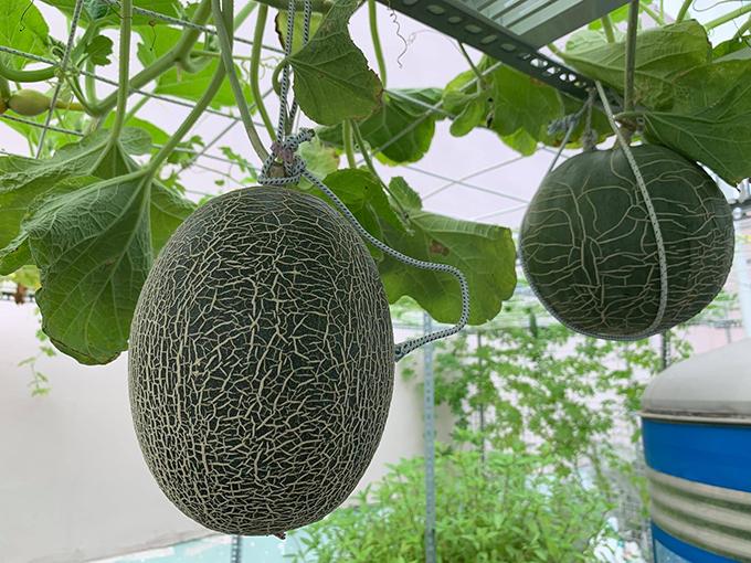 8X vượt khó làm vườn 30 m2 trĩu trái trên mái tôn, sân thượng  - 3