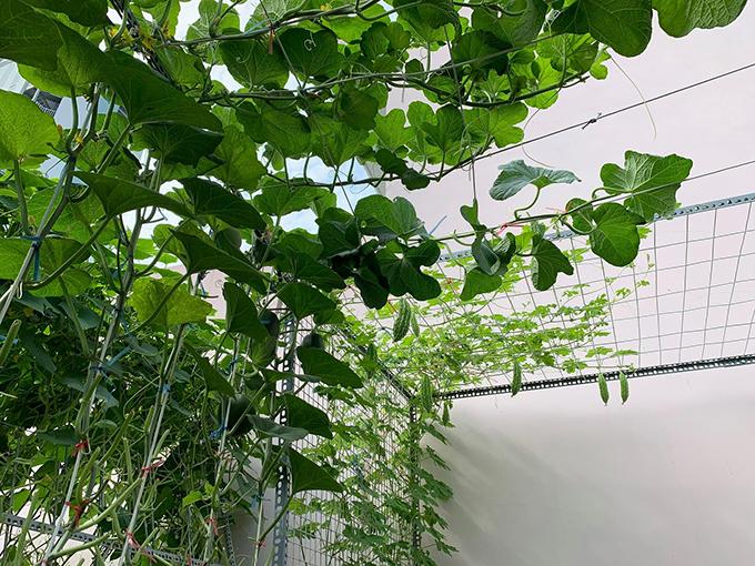 8X vượt khó làm vườn 30 m2 trĩu trái trên mái tôn, sân thượng  - 5