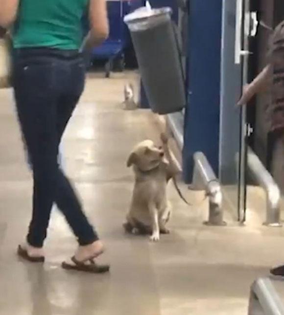 Con chó Agusta chào tất cả khách ra vào một siêu thị ở Catanduva, Sao Paulo, Brazil. Ảnh: ViralHog