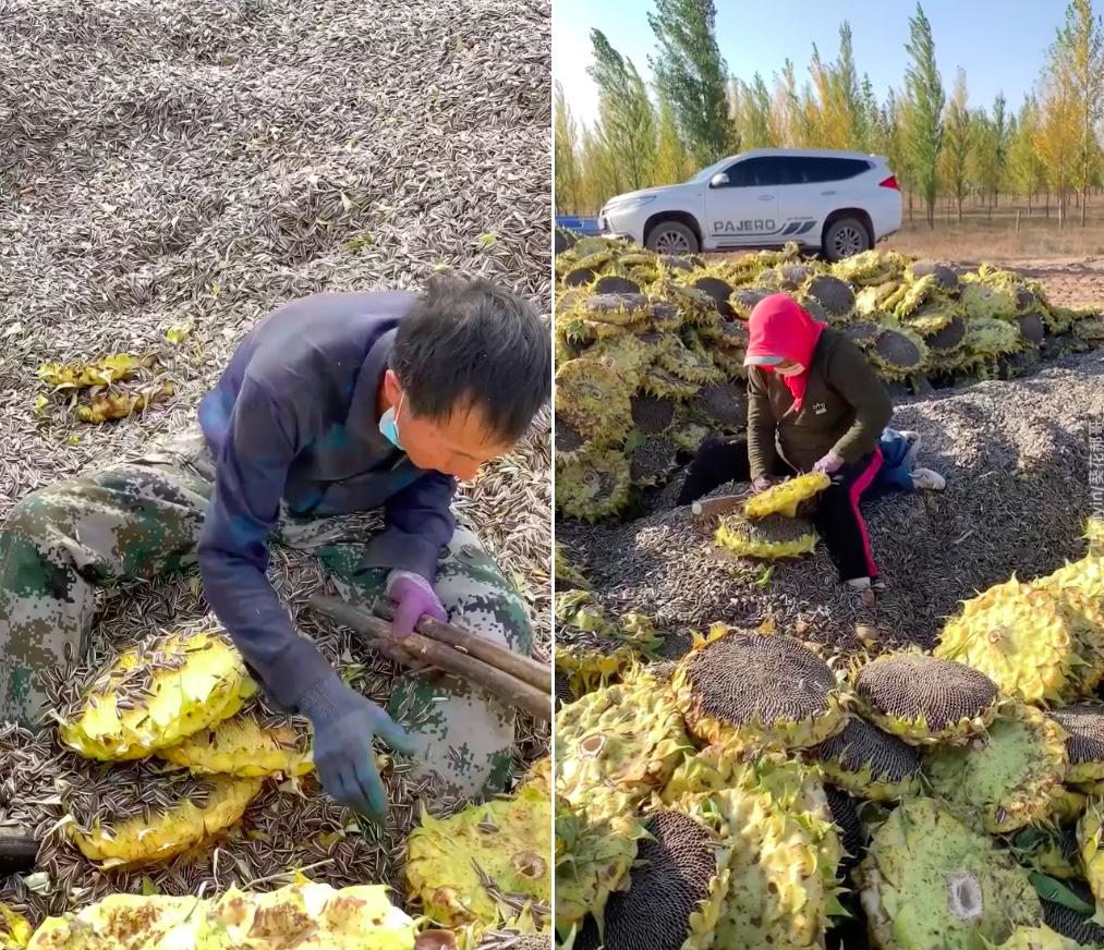 Kiểu thu hoạch hướng dương mất vệ sinh ở Nội Mông