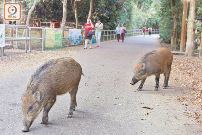 Lợn rừng lê la ở đường chính để tìm thức ăn. Ảnh: ON